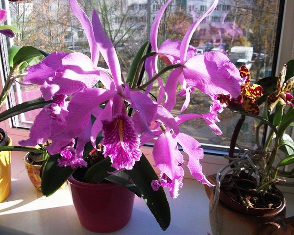 Орхідея катлея - догляд в домашніх умовах 07ff0bc5847d9